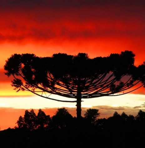 Pinheiro-do-paraná (Araucaria angustofolia),  que  tem no dia 24 de junho a data nacional.  Imagem: Acervo e crédito de Júlio Szymaski - Cascavel - PR - FOTO 1 -