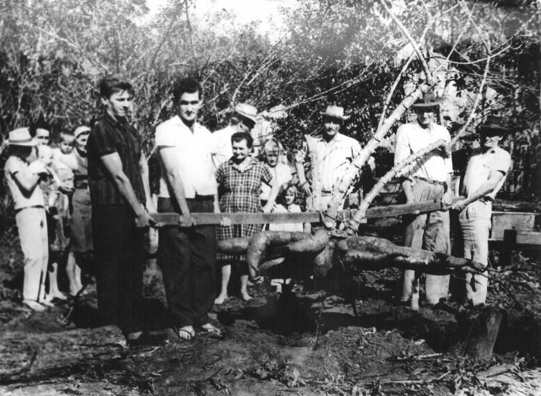 Raiz de mandioca. Marechal Rondon, 1965.