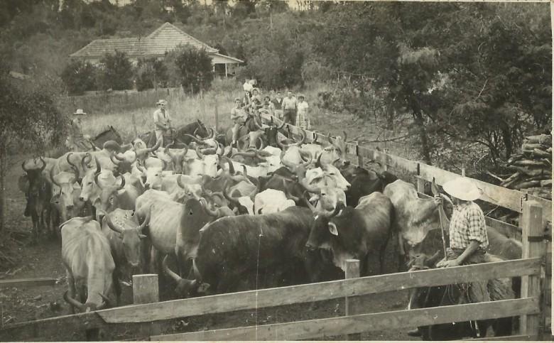 Mais uma vista da área  do matadouro de Helmuth Koch com animais para abate.  A residência ao fundo provavelmente foi a residência do pioneiro Rinaldo Ludwig. Se for, hoje pertence ao empresário Paulo Rempel.
