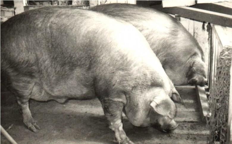Porco com mais de 100 kg, era o peso mínimo que tinha que ter para ser vendido para o frigorífico.  Com o decurso dos anos e com a suinocultura moderna, esse peso foi diminuindo.