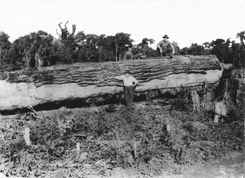 Toras de madeira Peróba, General Rondon, 1955.