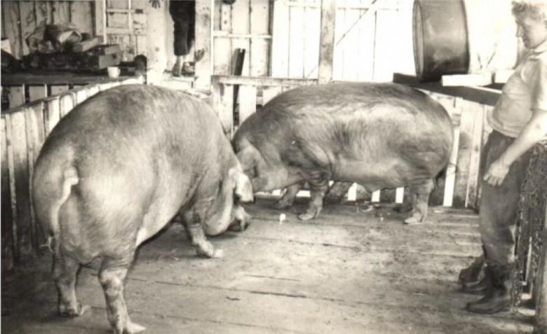 A criação de suínos, na época, mais conhecido como engorda de porcos, foi a atividade econômica mais forte entre os colonos de Marechal Cândido Rondon, nas décadas pioneiras de 1950, 1960 e 1970. A antiga designação de criador de porco foi substituída por suinocultor. E porco, passou a ser suíno. A antiga designação de colono é agora agricultor ou empresário agrícola .