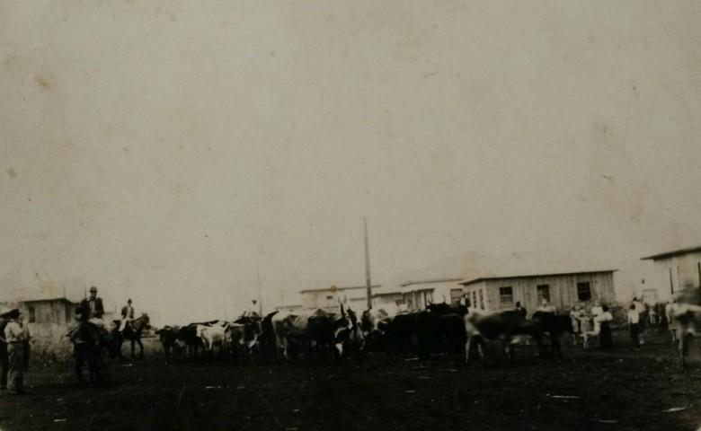 Outra vista da tropa de gado bovino do pioneiro  Wiebusch, recém chegado de Piratuba, SC.