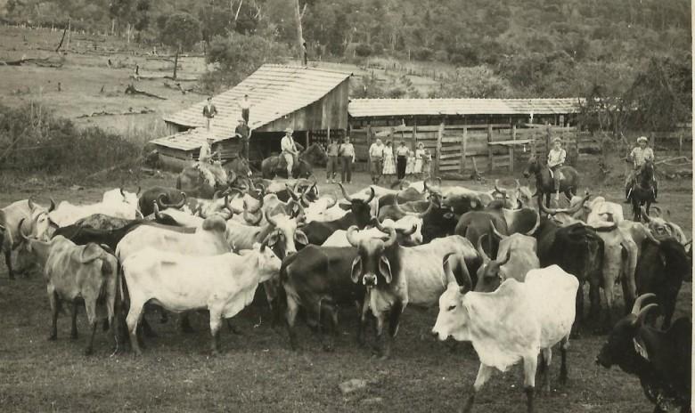 Animais para abate junto ao matadouro de propriedade de Helmuth Koch.  O estabelecimento fica na chácara ao final da Rua Sergipe, no lado oeste da cidade de Marechal Cândido Rondon.