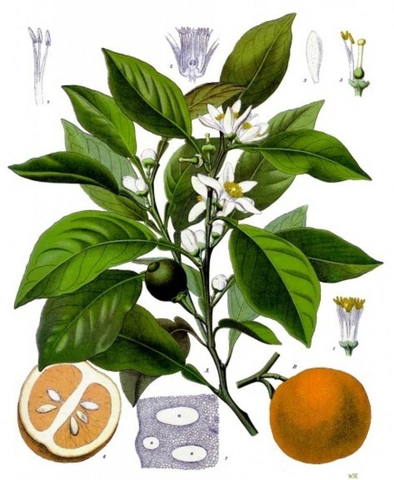 Esboço taxonômico do Citrus aurantium (laranja amarga ou laranja apepú. Imagem: Arte de Franz Eugen Köhler - Acervo Köeler's Medizinal Planzen - 1
