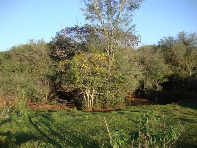 Laranja apepu vicejando no potreiro do Sítio dos Graff, na Linha Concórdia, no município de Marechal Cândido Rondon (PR), na década 2000. Imagem: Acervo Vilton Graff - 2